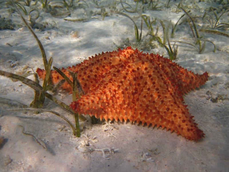 Estrella de mar en Los Roques Drai Cabello