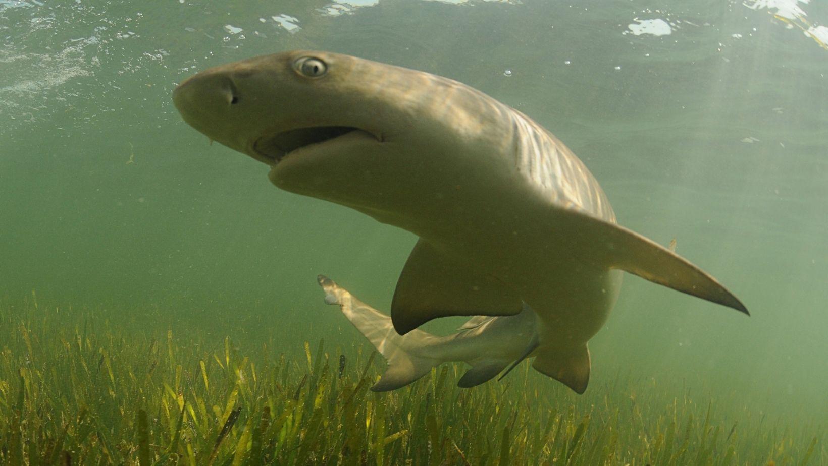Tiburon Limon en Los Roques