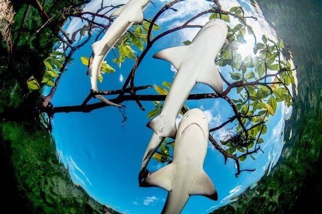Tiburones en manglar