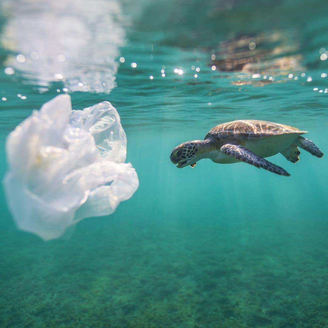 Tortuga marina encuentra una bolsa pástica en el mar